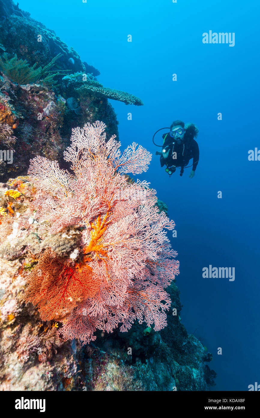 Divers looking at colourfal sea fans at St Crispins Reef, Great Barrier Reef Marine Park, Port Douglas, Queensland, - Stock Image