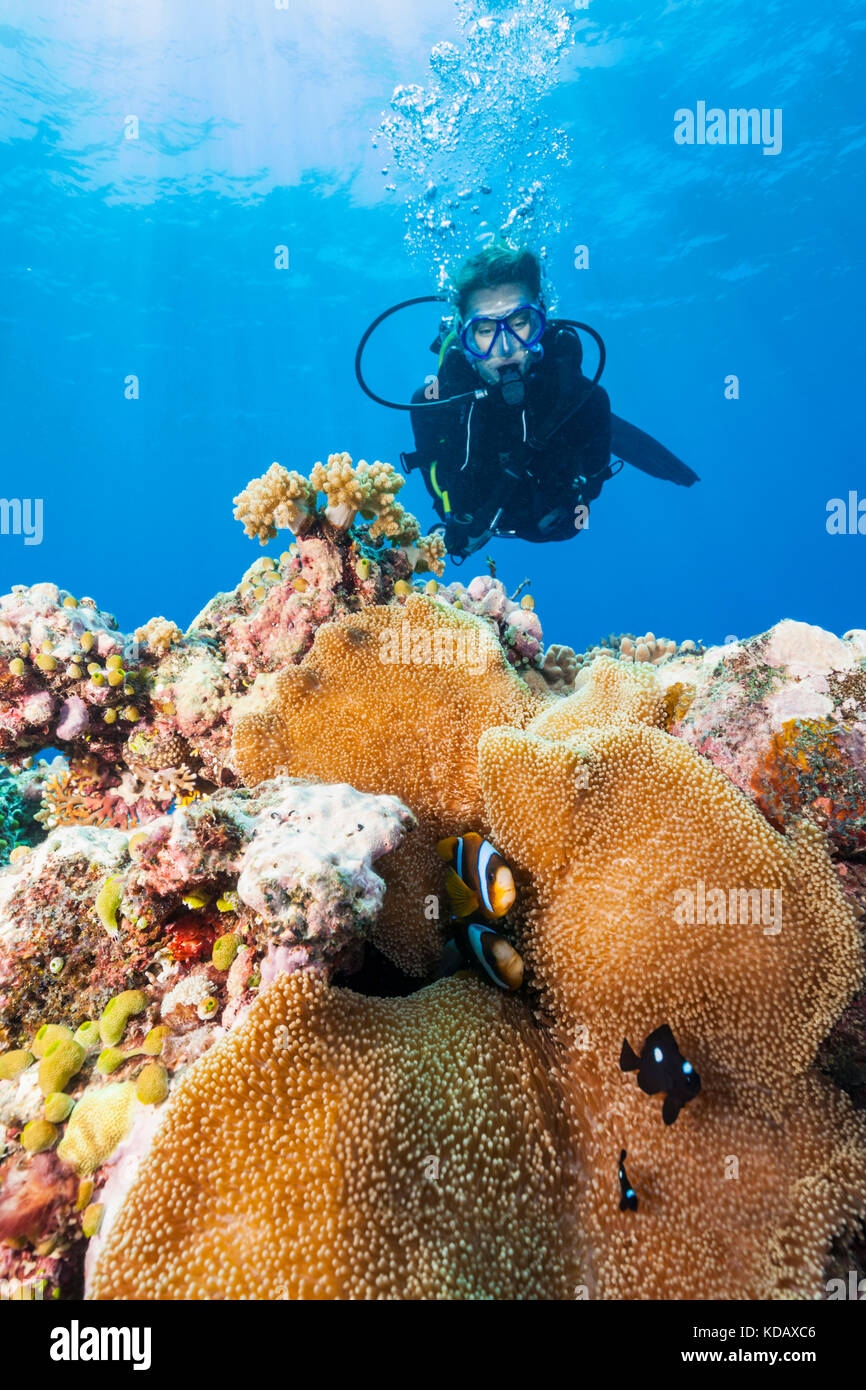 Female diver looking at anemonefish at St Crispin Reef, Great Barrier Reef Marine Park, Port Douglas, Queensland, - Stock Image