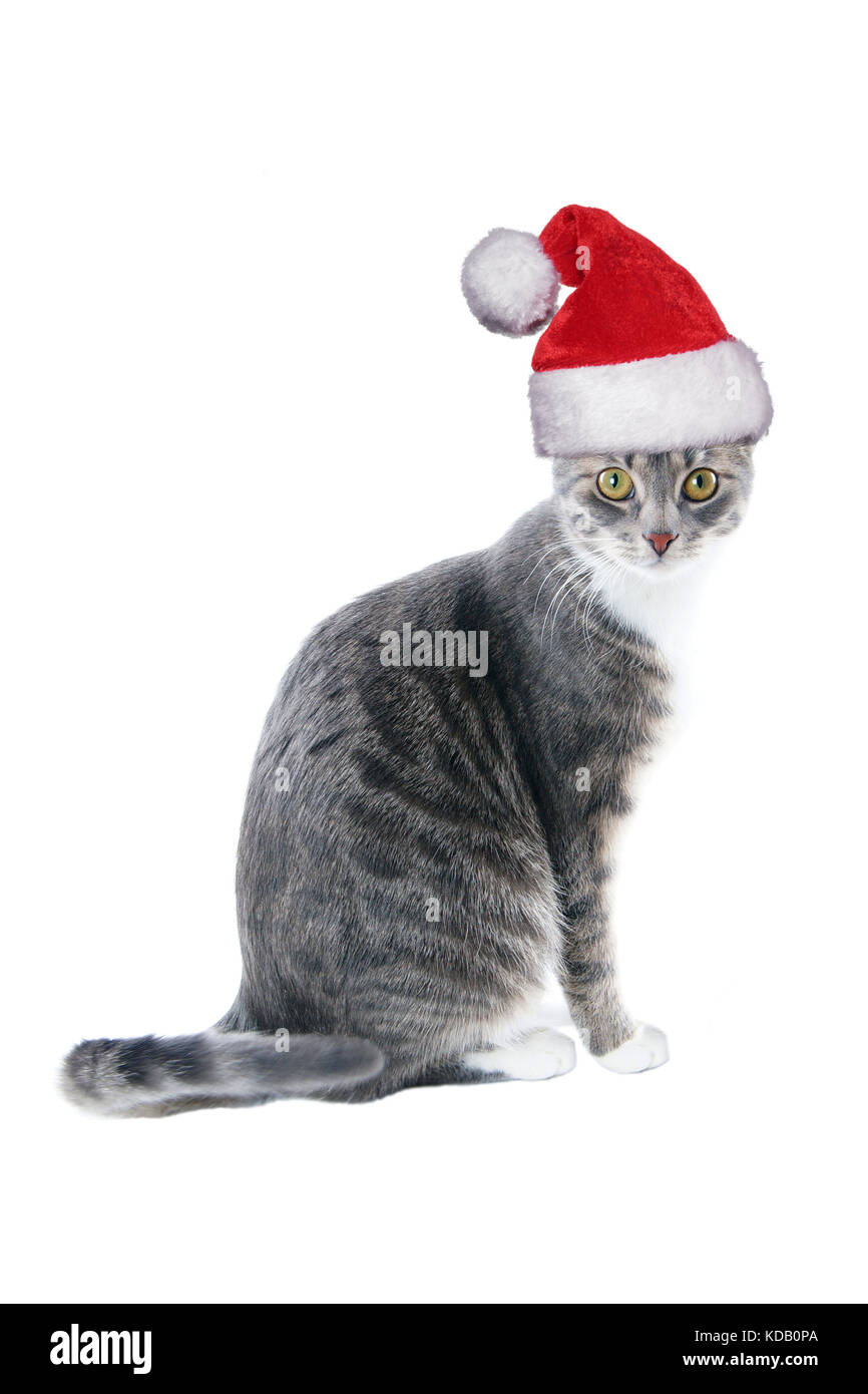tabby cat wearing santa hat for christmas - Stock Image