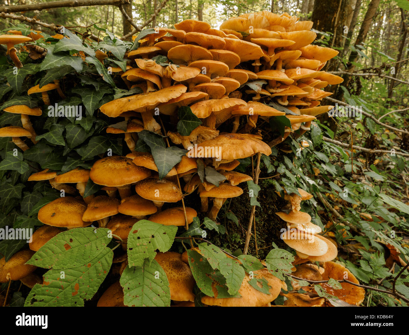 Armillaria - It grows on the ground in a number of different woodlands, although birch, pine, spruce and fir are - Stock Image