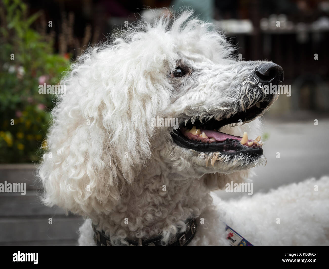 Portrait of a white royal poodle with an open mouth - Stock Image