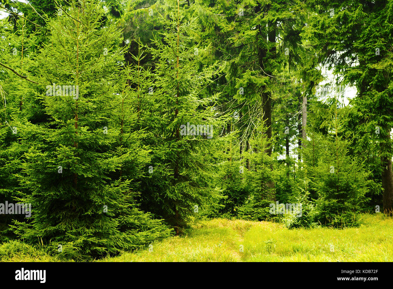 Green spruces in evergreen coniferous forest. Young picea abies trees growing in woodland in Owl Mountains Landscape Stock Photo