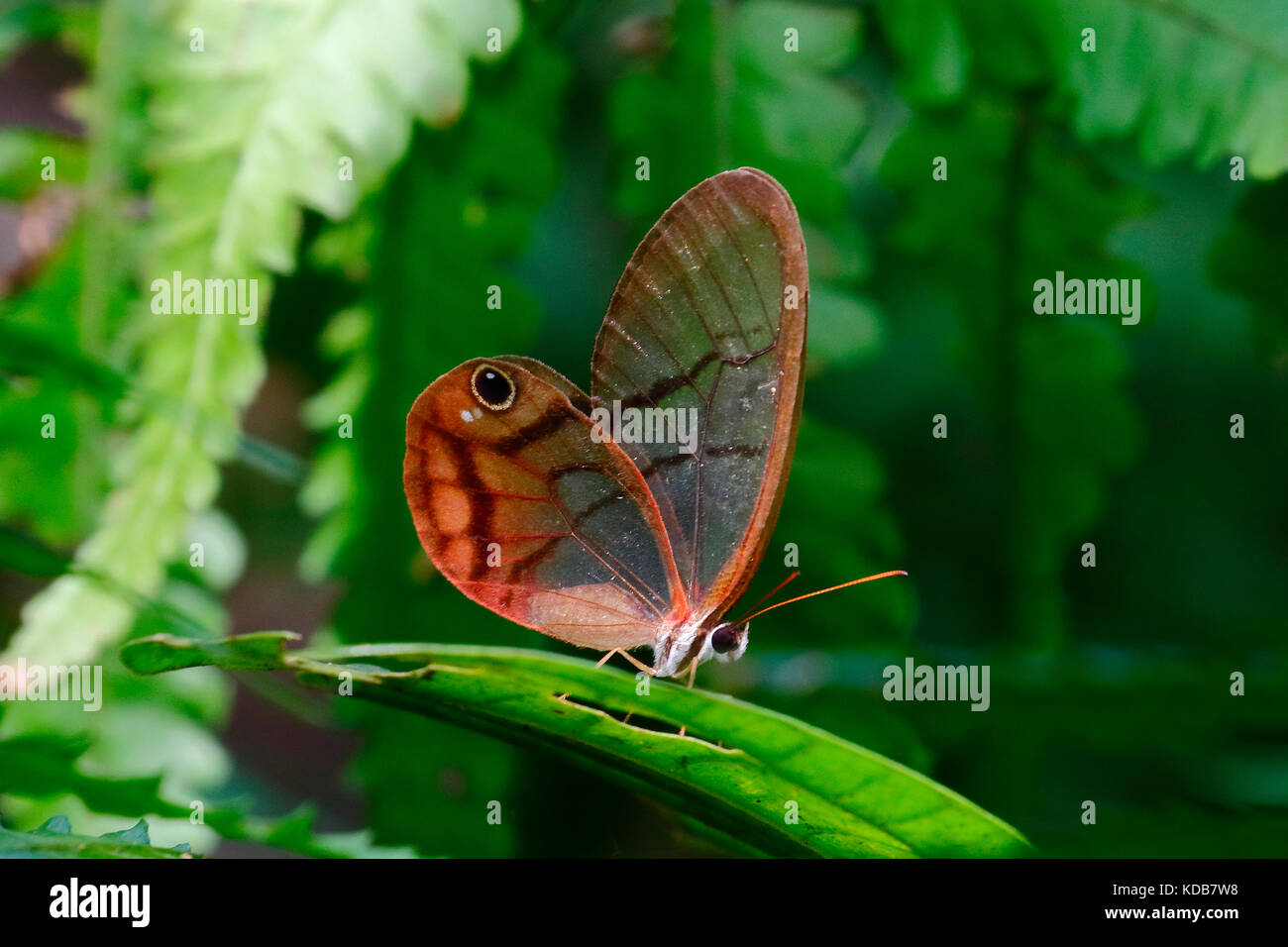A rusted clearwing satyr butterfly, Cithaerias pireta, landing on a leaf. - Stock Image