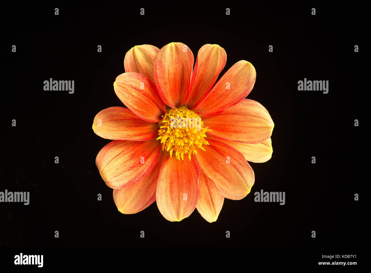 A single flower of a beautiful dahlia isolated against a black background. - Stock Image