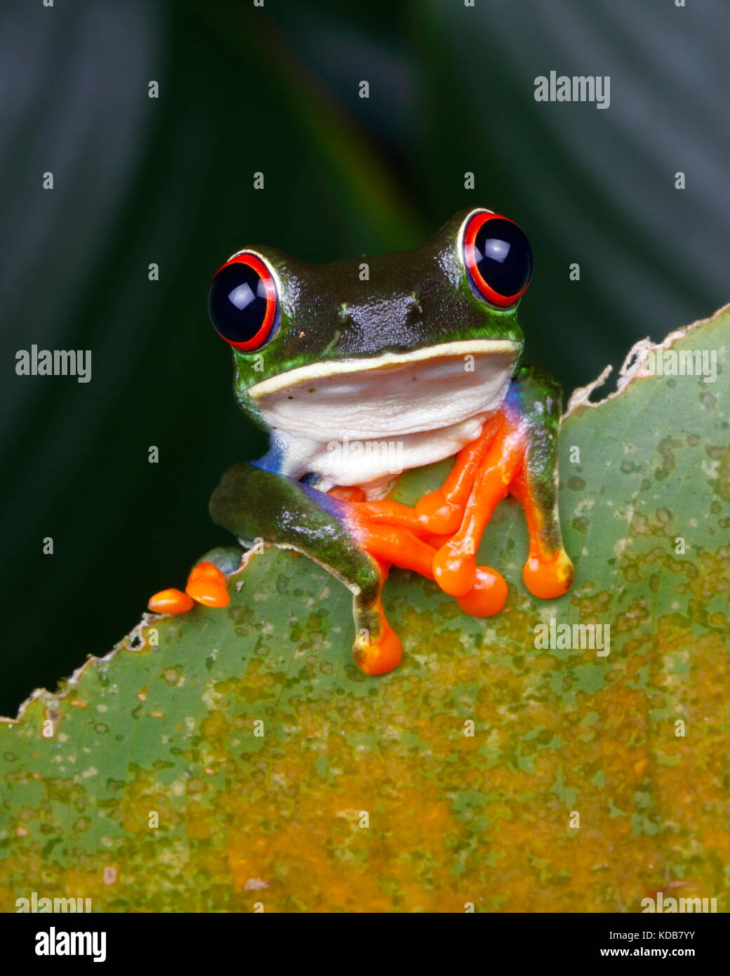 A red-eyed tree frog, These Agalychnis callidryas. - Stock Image