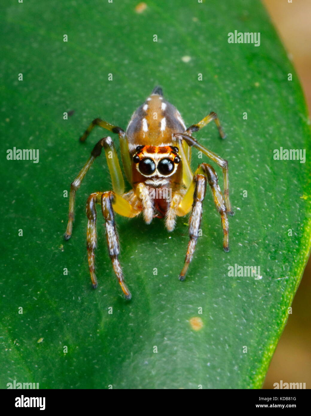 A jumping spider, Tropische Springspinne, crawling on a leaf. - Stock Image