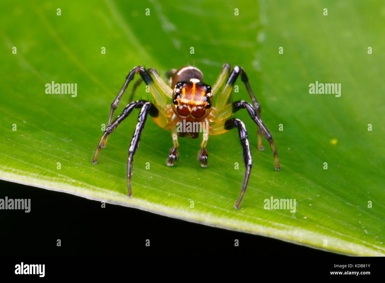 A jumping spider, Tropische Springspinne, or Tropische Huepfspinne, crawling on a leaf. - Stock Image
