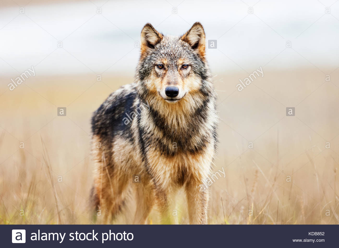 Young coastal wolf, canis lupus, in a river estuary. - Stock Image