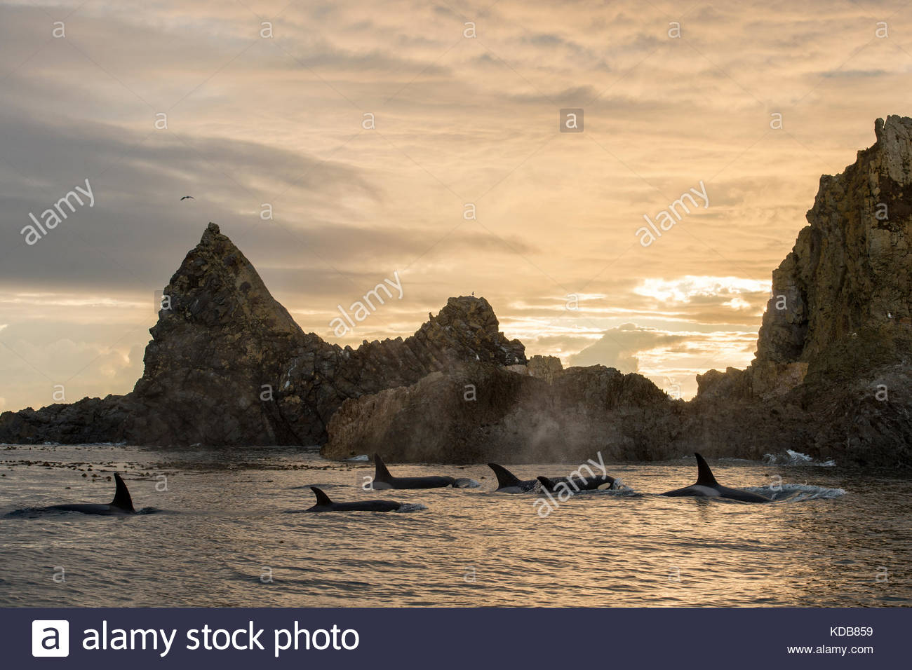 A pod of transient killer whales, Orcinus orca, surround the second largest haulout of Steller Sea Lions in the - Stock Image