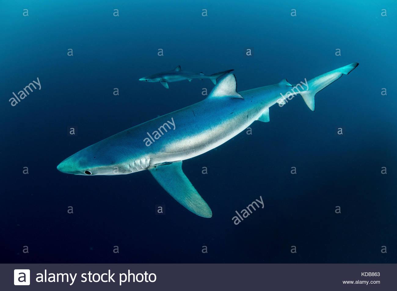 Blue sharks, Prionace glauca. - Stock Image