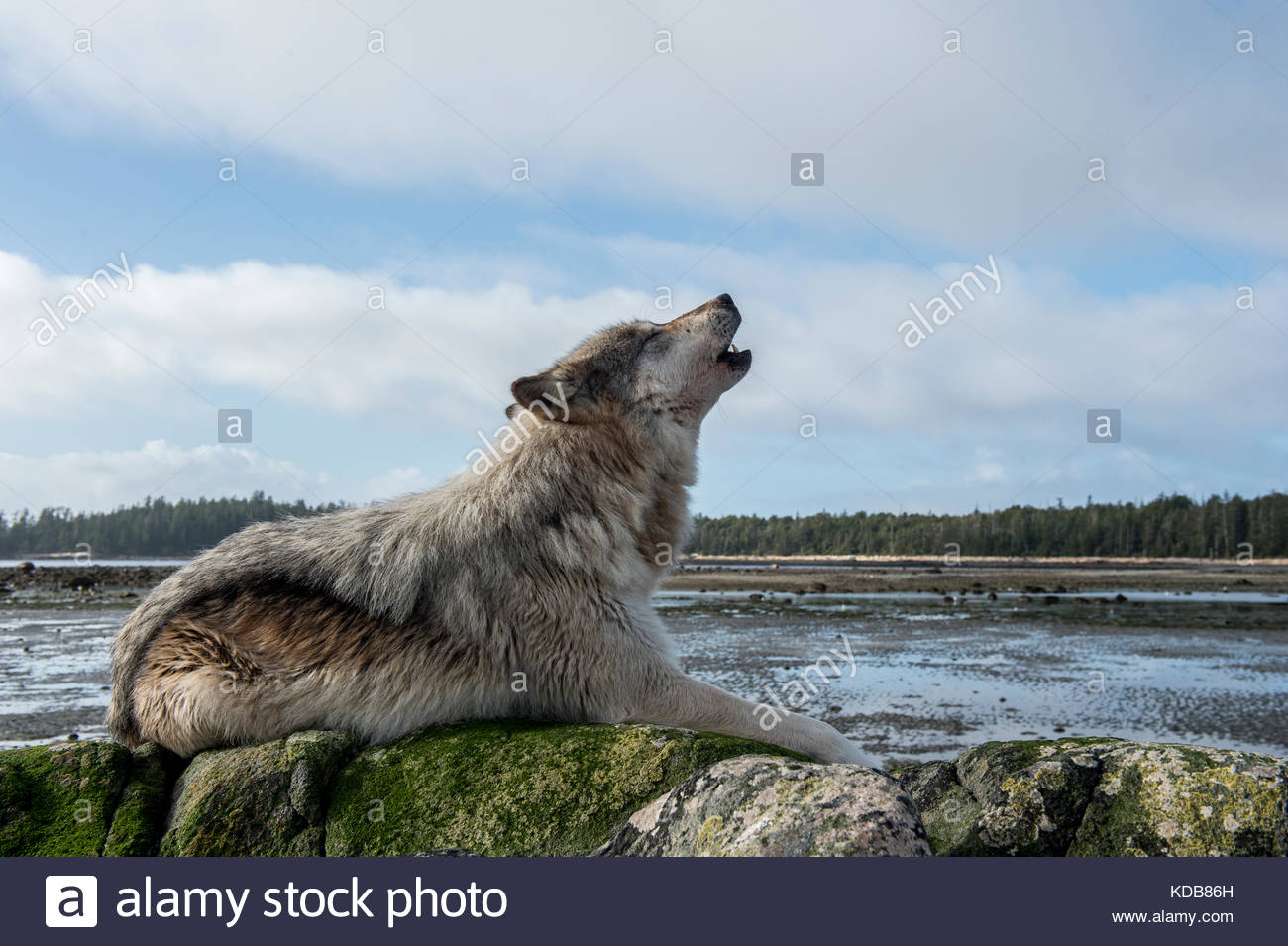 A coastal wolf, Canis lupus, howls on a beach at low tide. Stock Photo