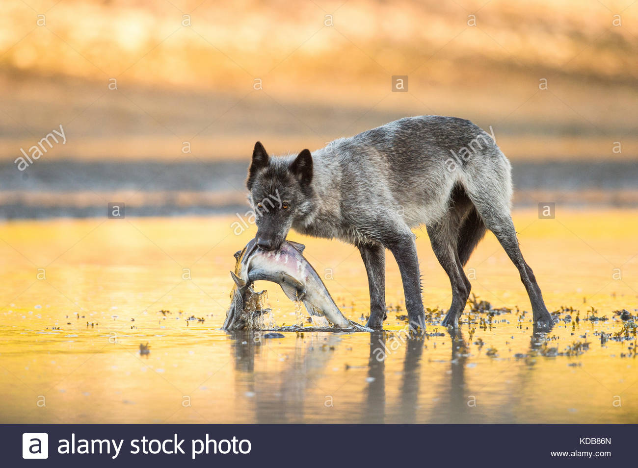 A dark coastal wolf, Canis lupus, feeds on a chum salmon, Oncorhynchus keta. - Stock Image