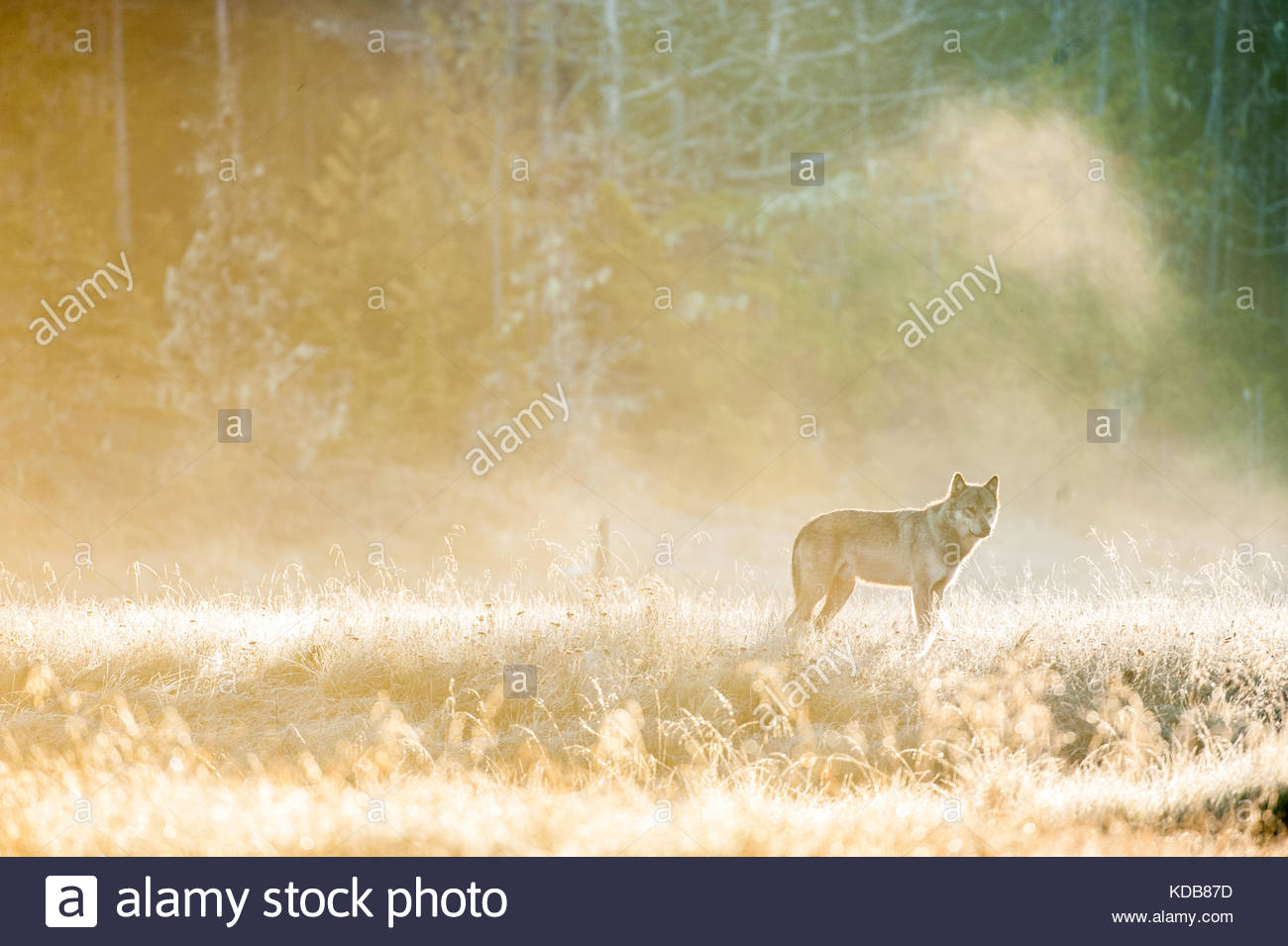 Early morning fog creates a surreal yellow glow  around a lone coastal wolf. - Stock Image