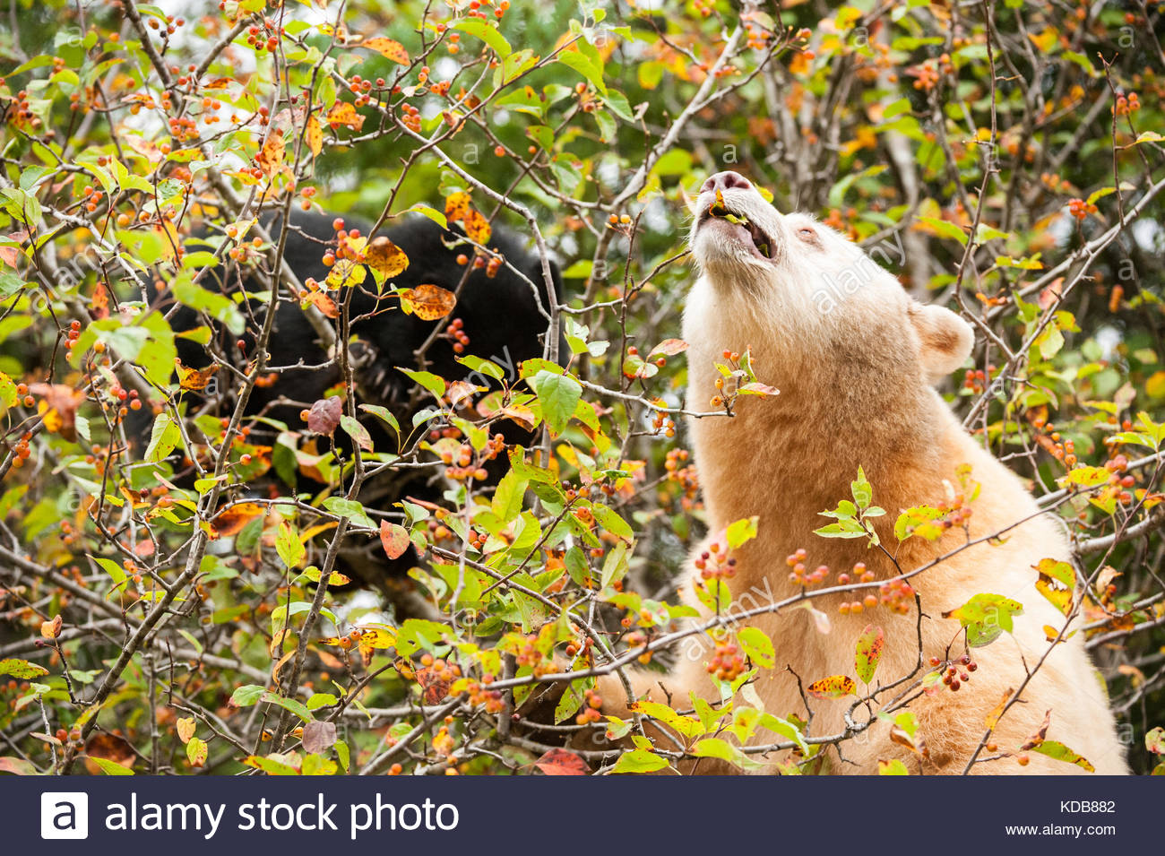 A mother spirit bear, Ursus americanus kermodei, grazes with her cub on ripe crabapples in the fall. - Stock Image