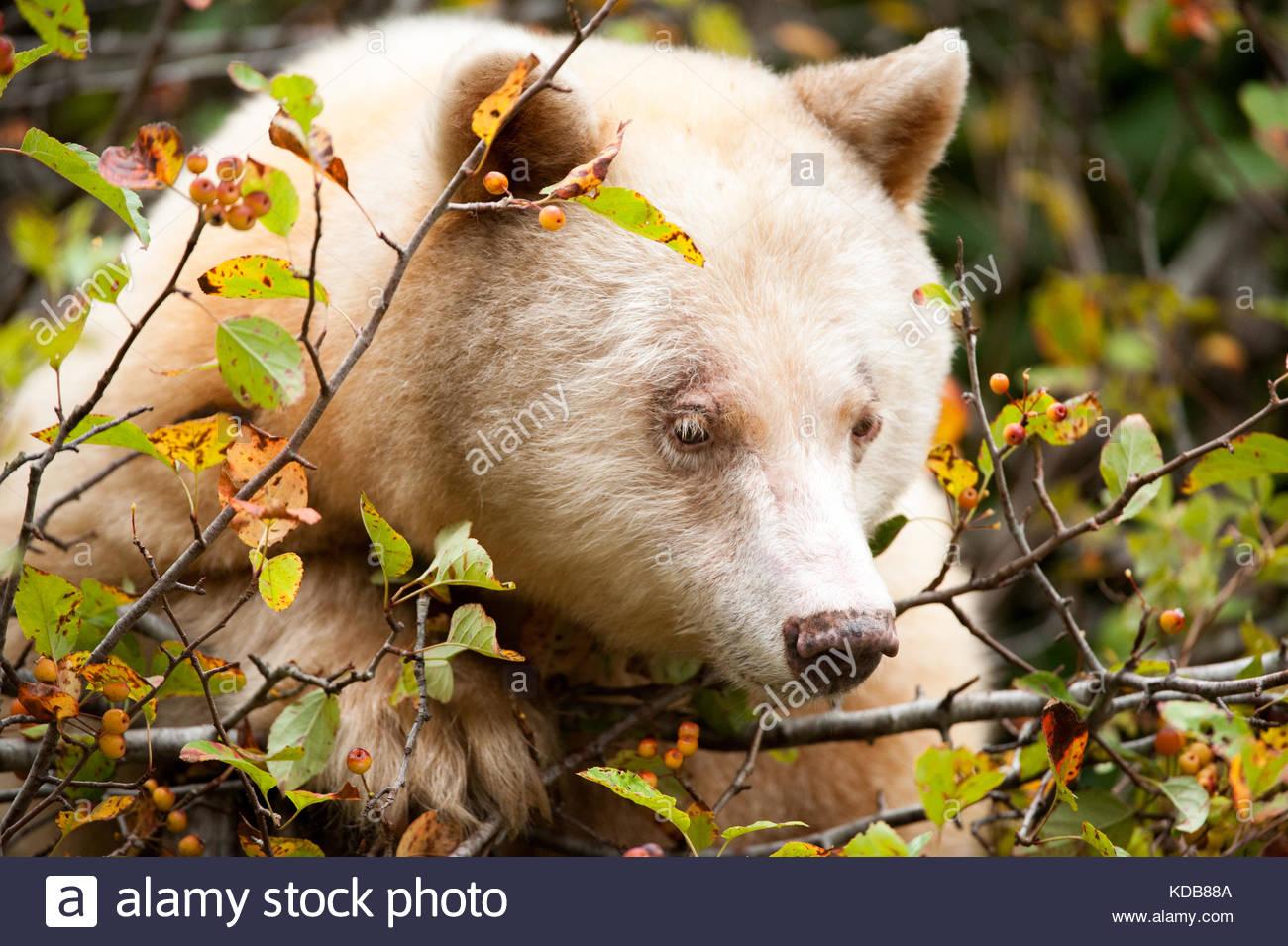 A spirit bear, Ursus americanus kermodei, grazes on ripe crabapples in the fall. - Stock Image