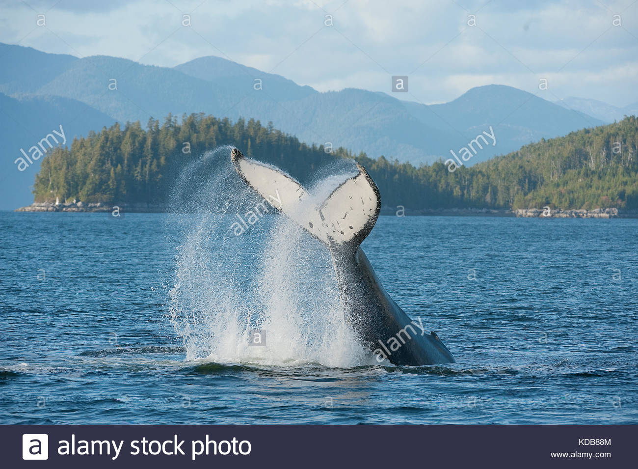 A humpback whale, Megaptera novaeangliae, slapping its tail in British Columbia's inside passage. - Stock Image