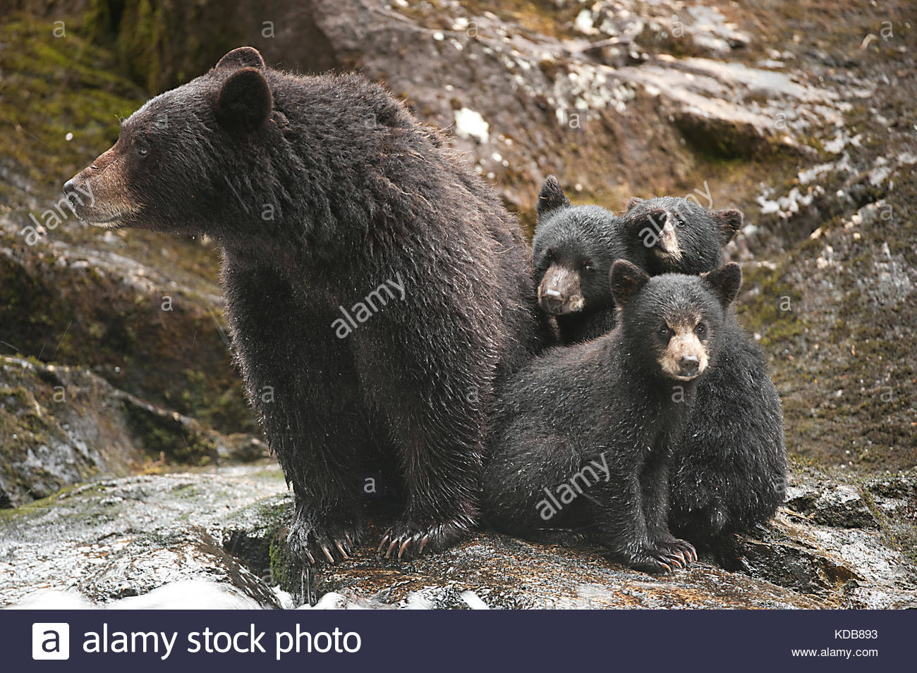 A mother black bear, Ursus americanus, and her three young cubs at a salmon-filled waterfall. - Stock Image