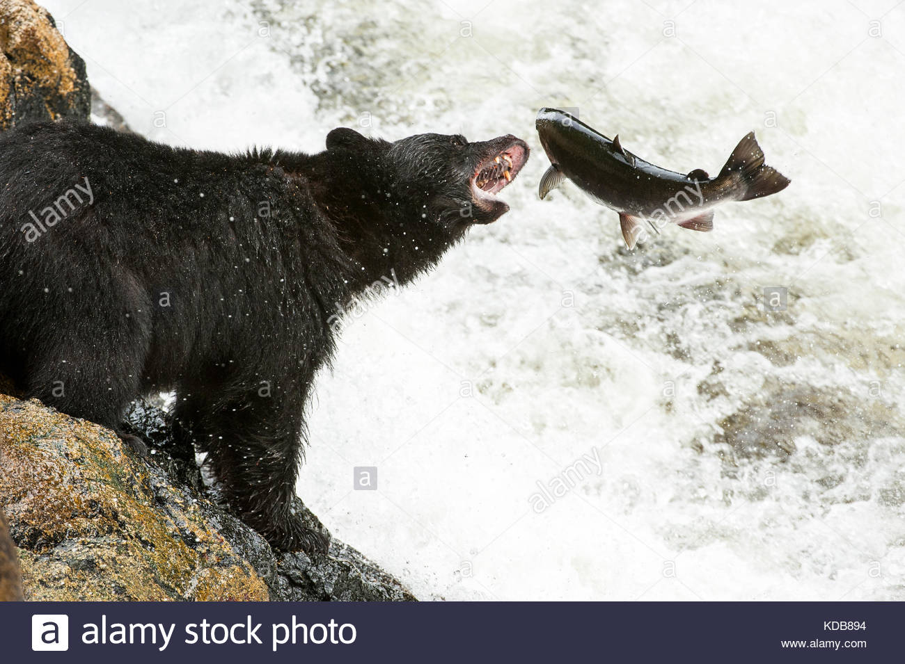 A black bear, Ursus americanus, attempts to catch a coho salmon, Oncorhyncus kisutch,  at a waterfall. - Stock Image