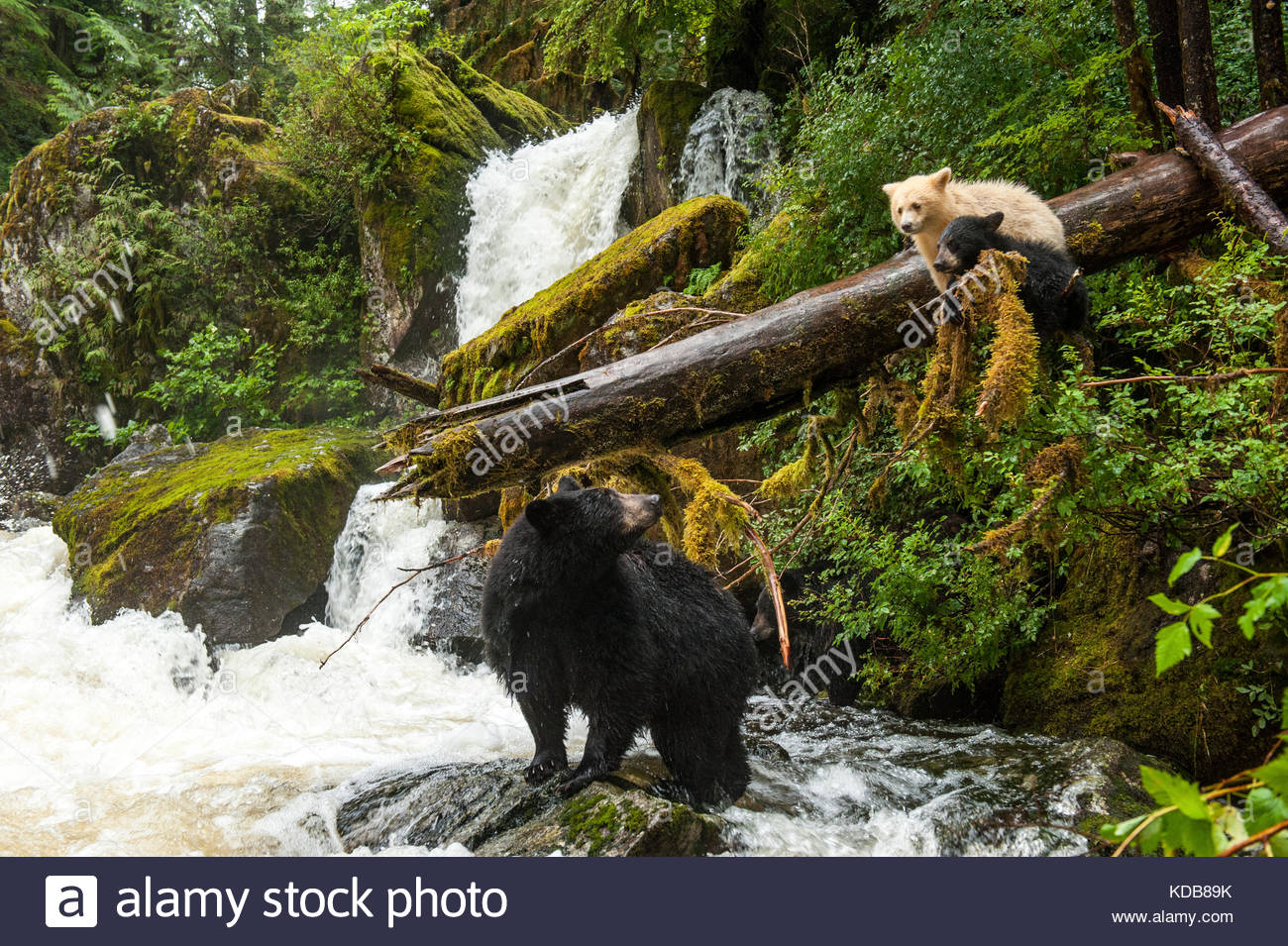 A mother black bear, Ursus americanus, looks up at her black and spirit bear cubs by a salmon waterfall. - Stock Image