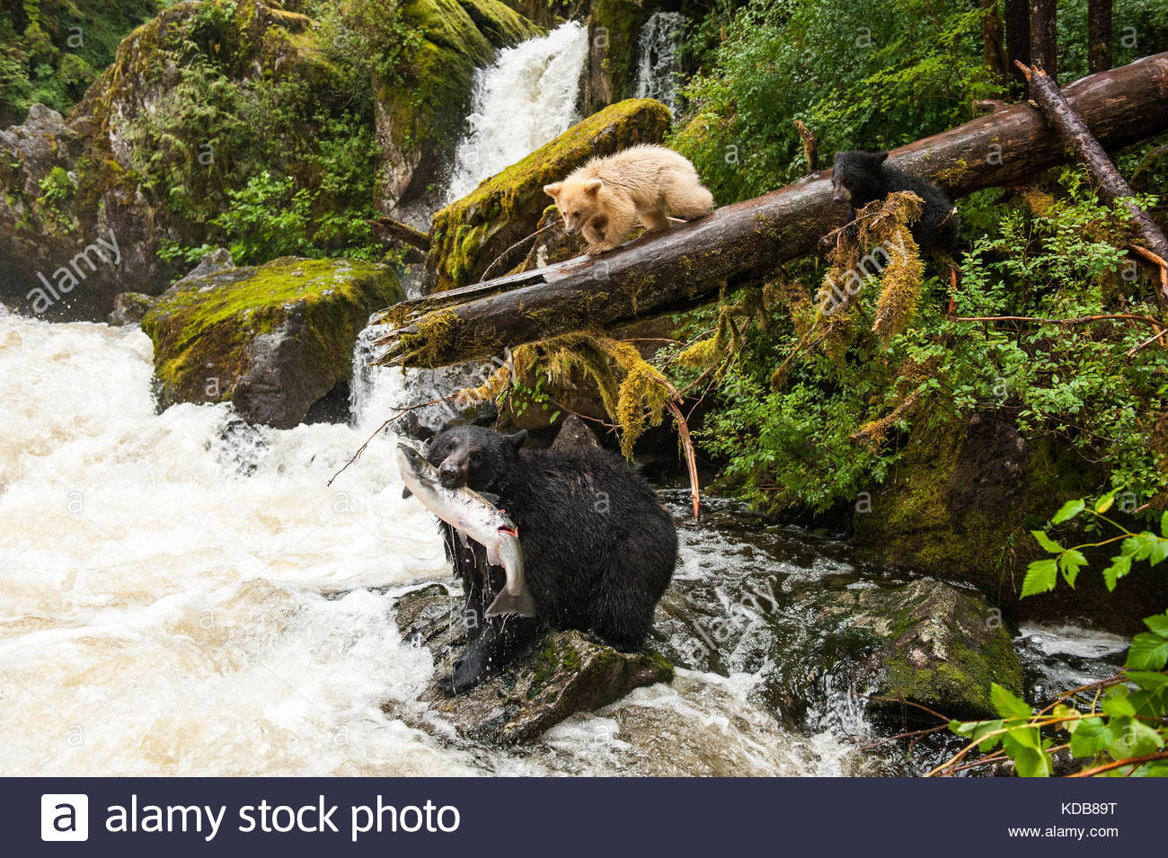 A mother black bear, Ursus americanus kermodei, with a coho salmon while her spirit bear cub and sibling look on. - Stock Image