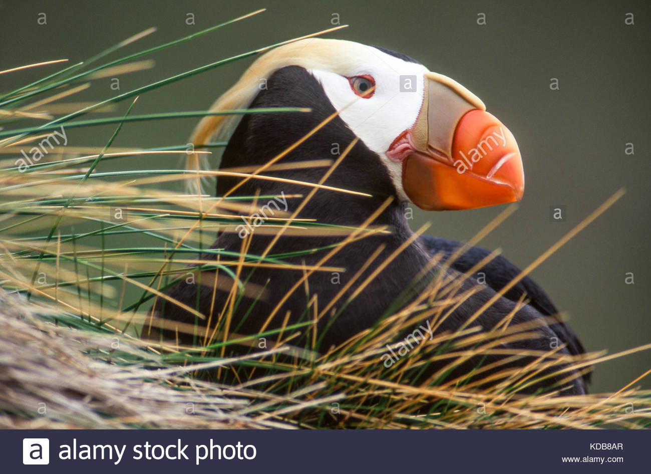 Profile of a tufted puffin, Fratercula cirrhata, in its burrow. - Stock Image