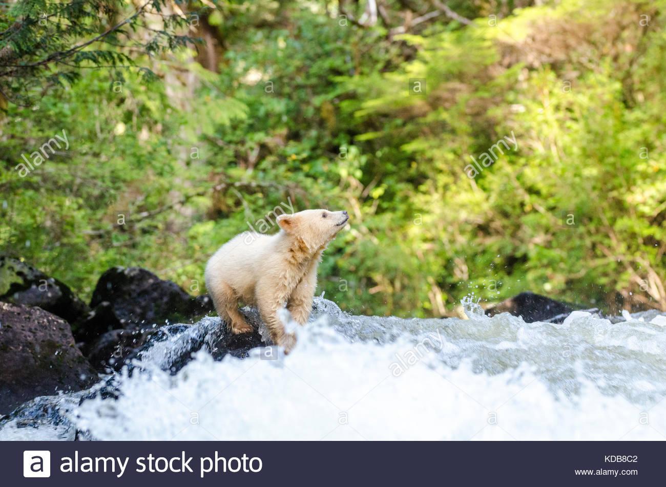 A spirit bear cub, Ursus americanus kermodei, tries to cross a rushing stream. - Stock Image