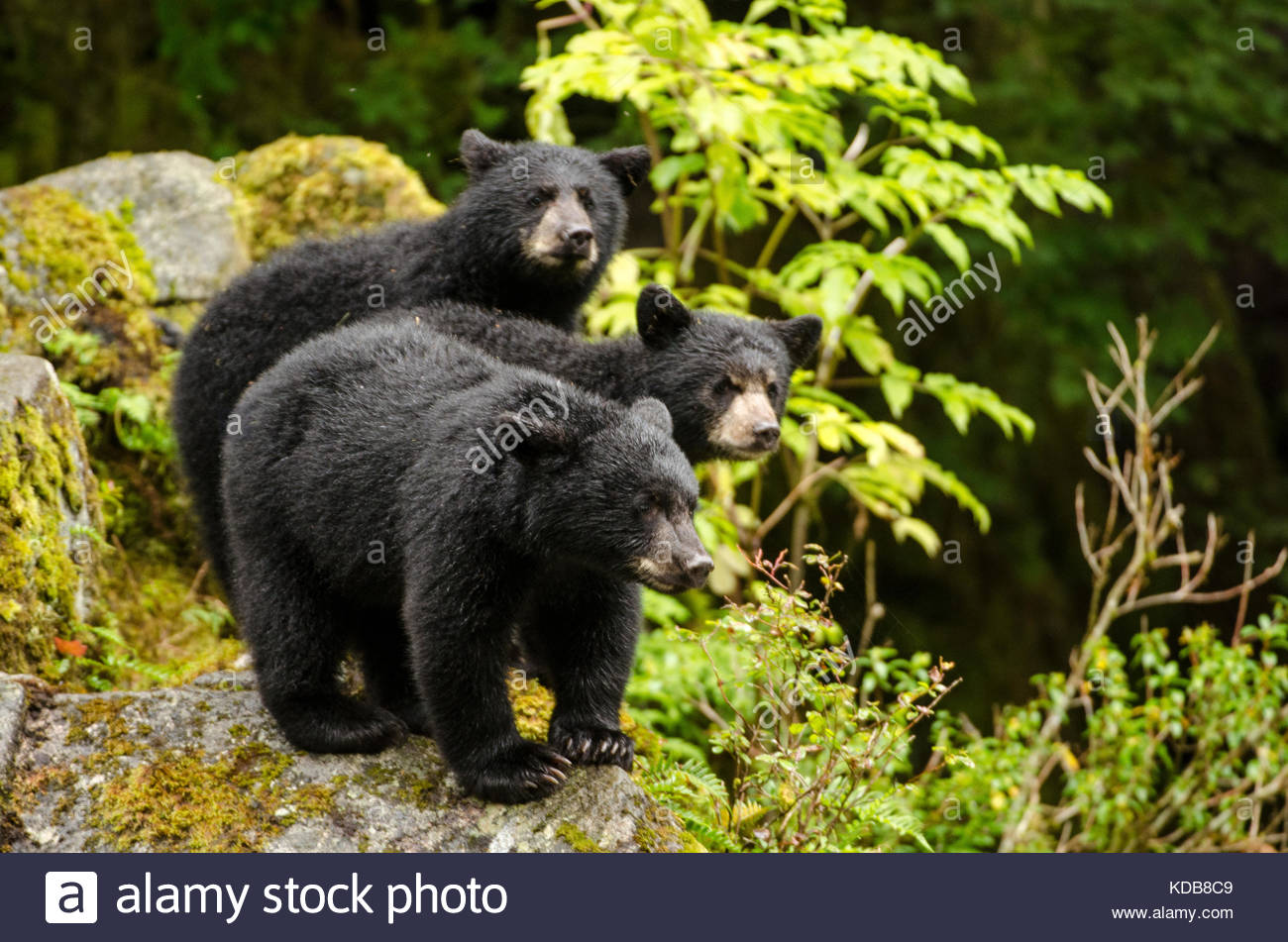 Three black bear cubs, Ursus americanus, standing on a rock. - Stock Image