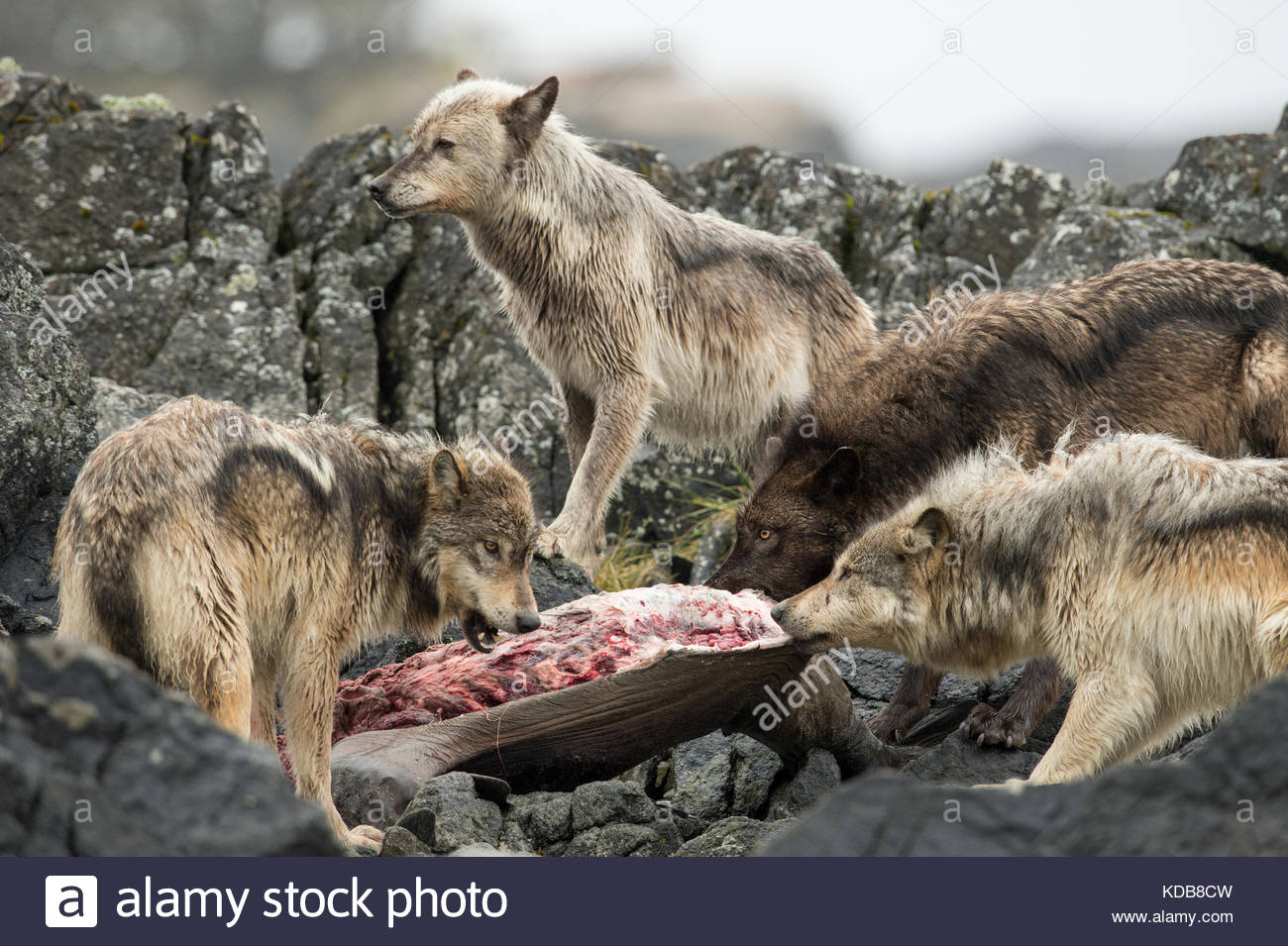 A pack of coastal wolves, Canis lupus, feeding on a sea lion carcass. - Stock Image
