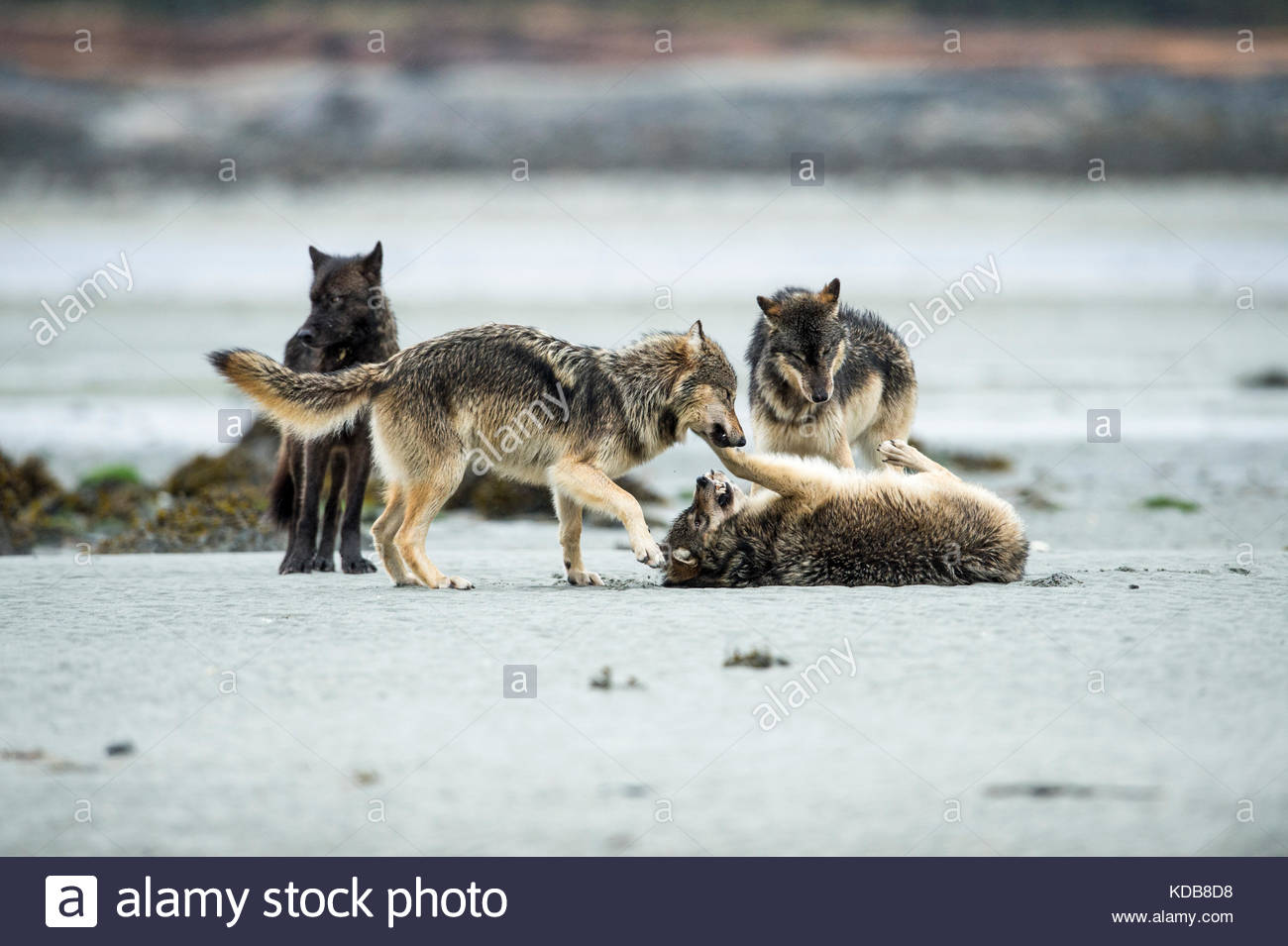 Four wolves, Canis lupus, playflighting on a beach. Stock Photo
