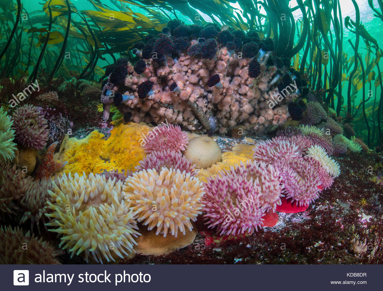 Anemones, sea stars, and Northern featherduster worms, Eudistylia vancouveri, in a kelp forest in the Great Bear - Stock Image