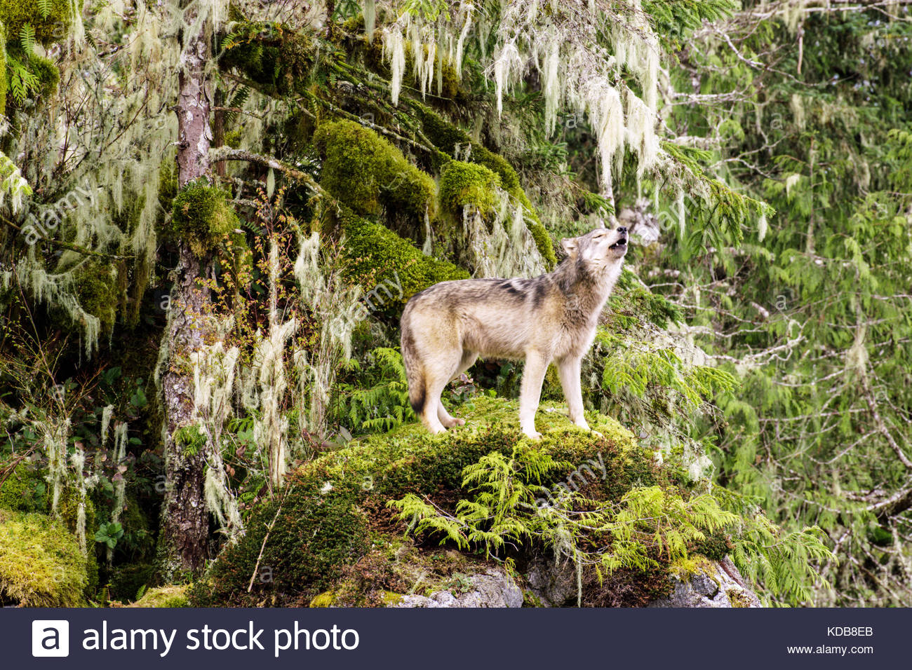 A coastal wolf stands on a bed of moss and howls. - Stock Image