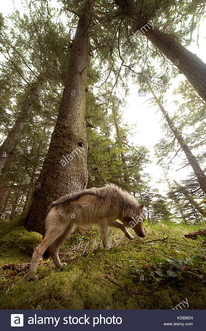 A coastal wolf, Canis lupus, walking through old growth forest. - Stock Image