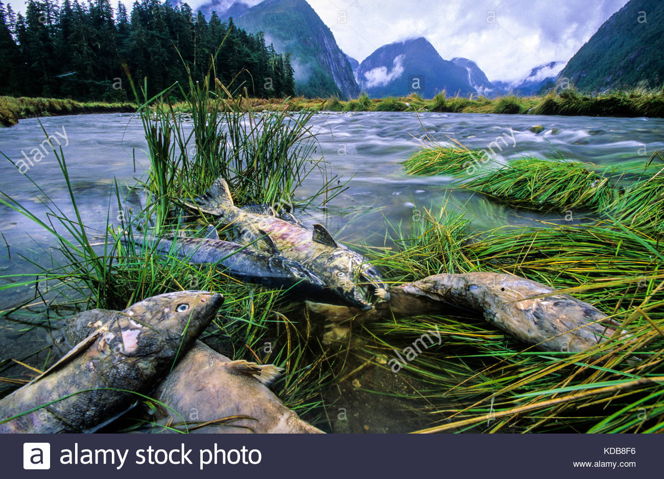 Spawned out chum salmon carcasses, Oncorhynchus keta. - Stock Image