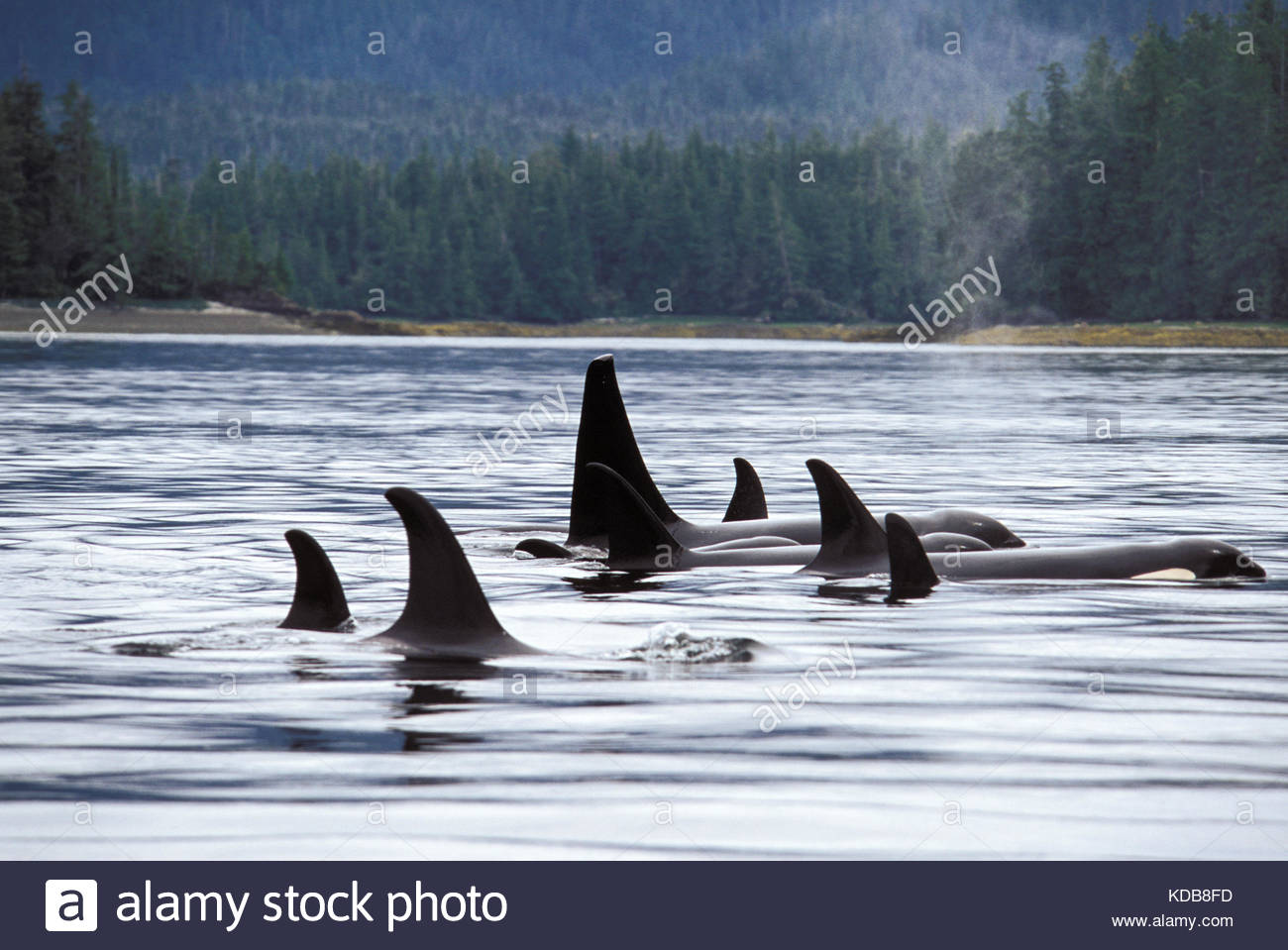 Orca whales, Orcinus orca, transiting through the Great Bear Sea. - Stock Image
