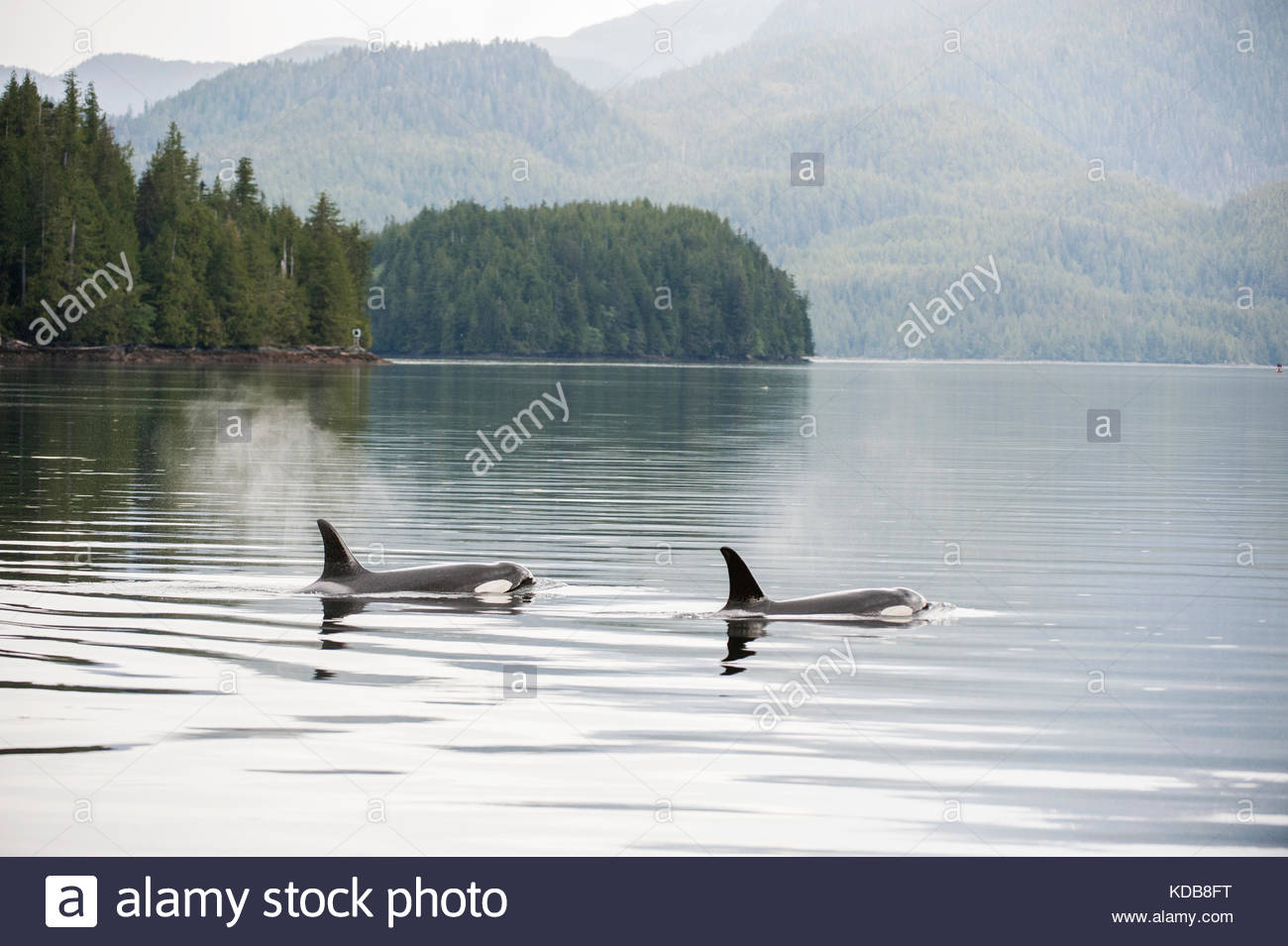 Two killer whales, Orcinus orca, transiting the Inside Passage of the central coast. - Stock Image