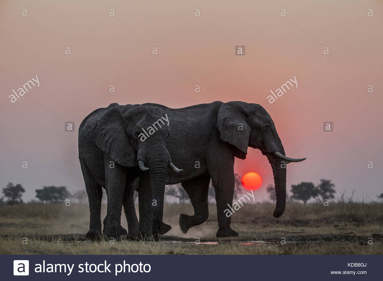 A pair of Elephants, Loxodonta africana, dust themselves as the sun sets. - Stock Image