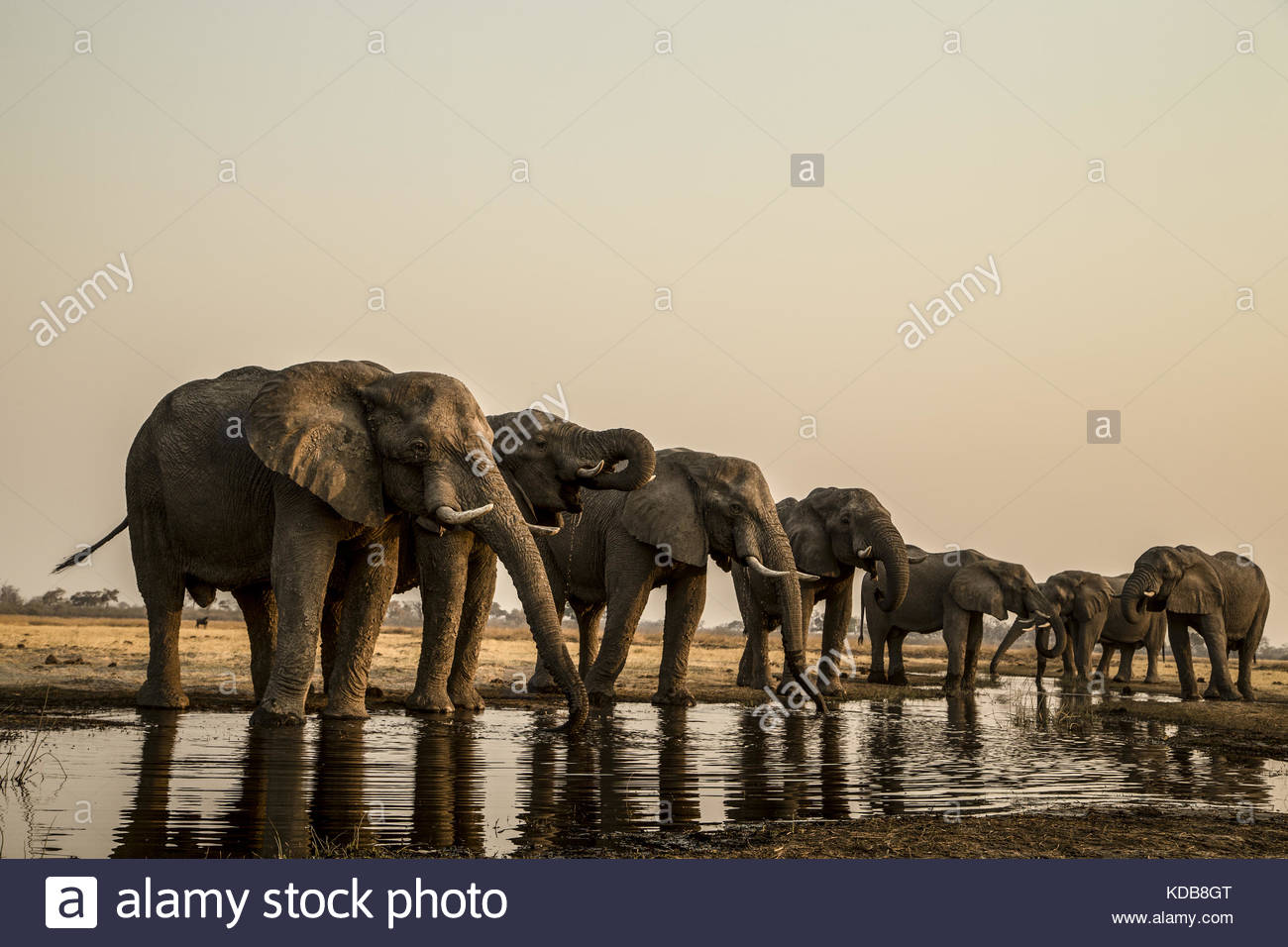 A herd of elephants, Loxodonta africana, drink from a spillway. - Stock Image