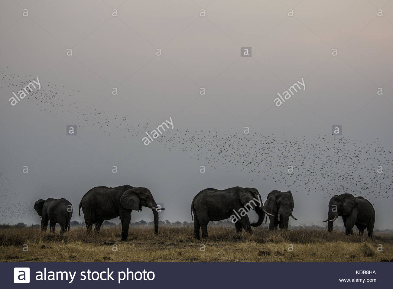 A heard of elephants, Loxodonta africana, graze beneath a flock of quelea. - Stock Image