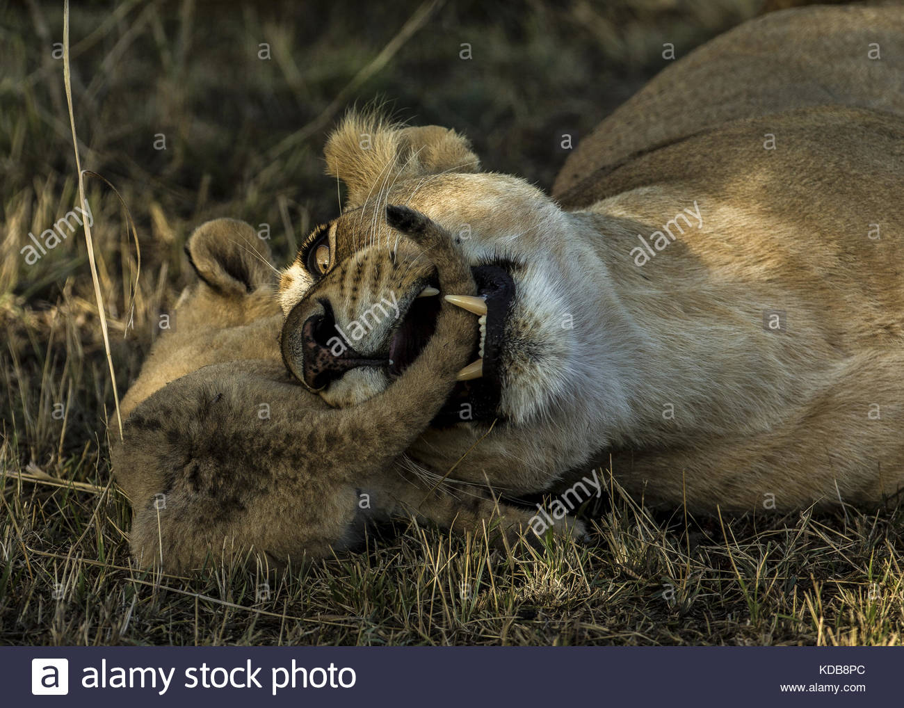A lioness, Panthera leo, playfully bites her cub. - Stock Image