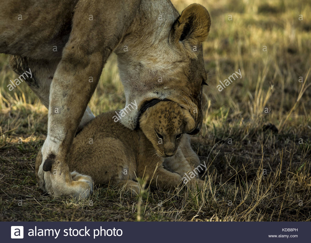 A lioness, Panthera leo, picks up her cub. - Stock Image