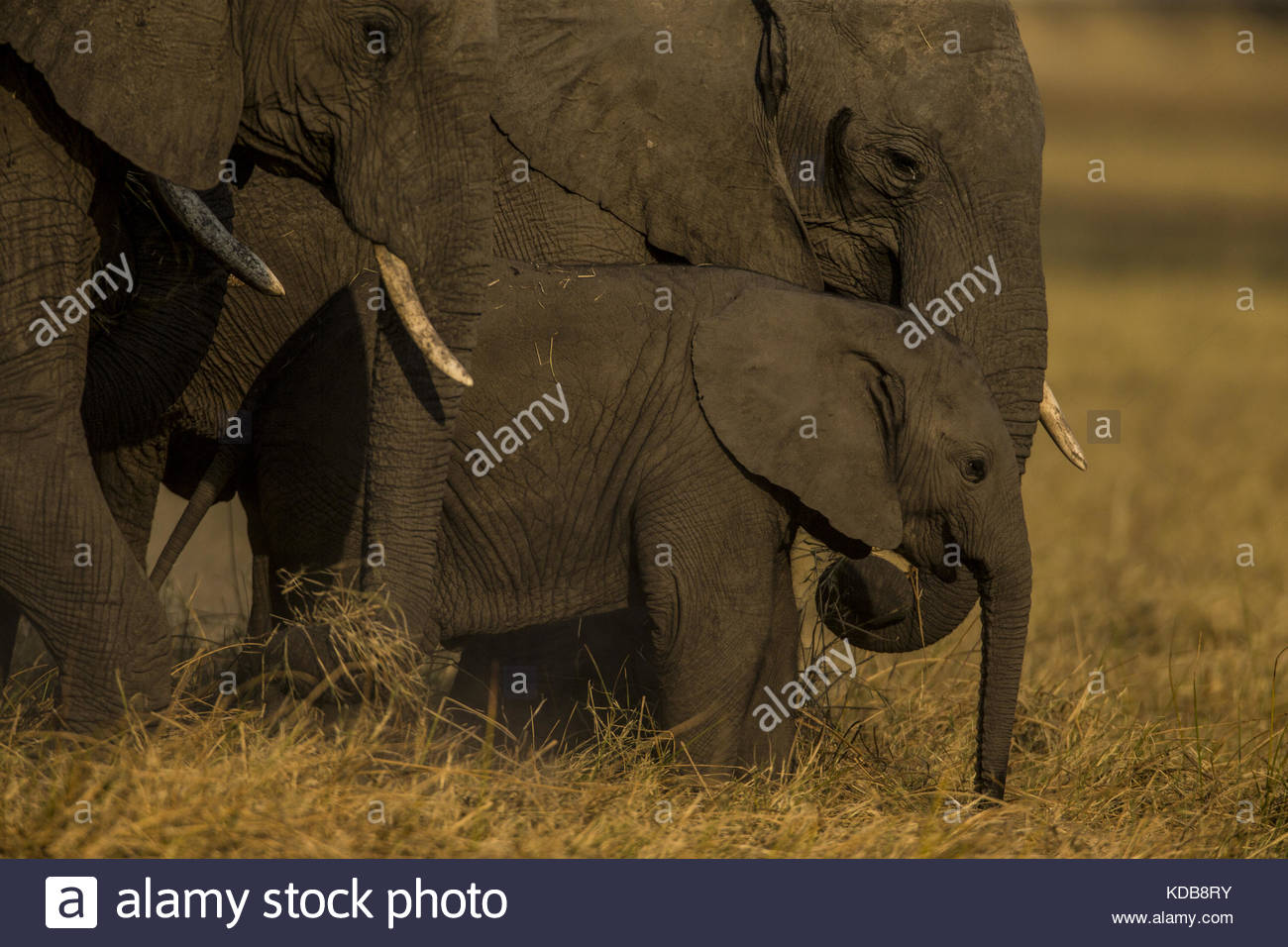 An elephant calf, Loxodonta africana, standing with the herd as they graze. - Stock Image