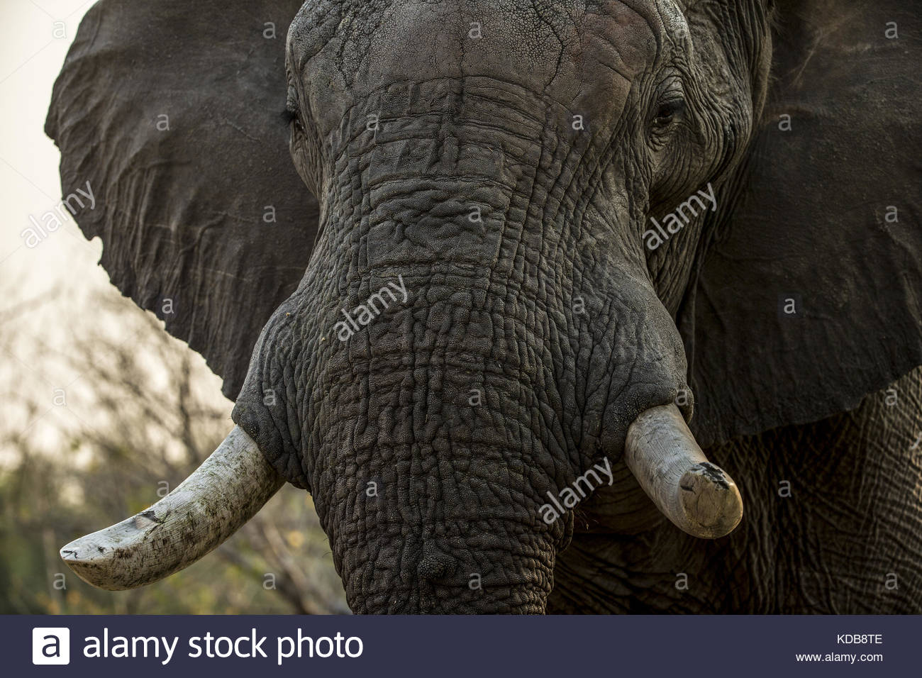 A close up of an elephant, Loxodonta africana. - Stock Image