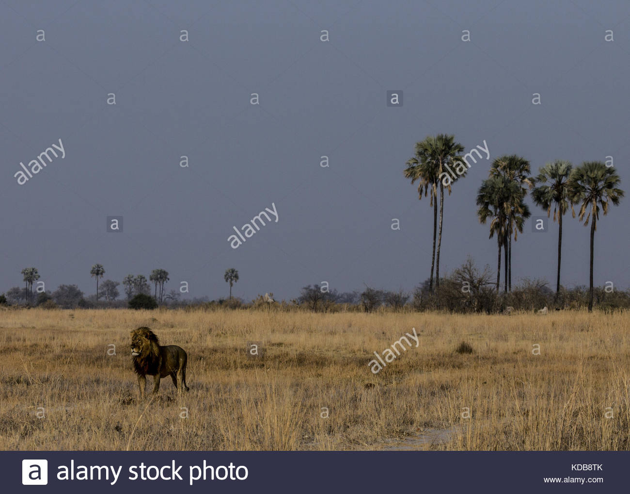A lion, Panthera leo, stands in the dry grass and surveys the area. - Stock Image