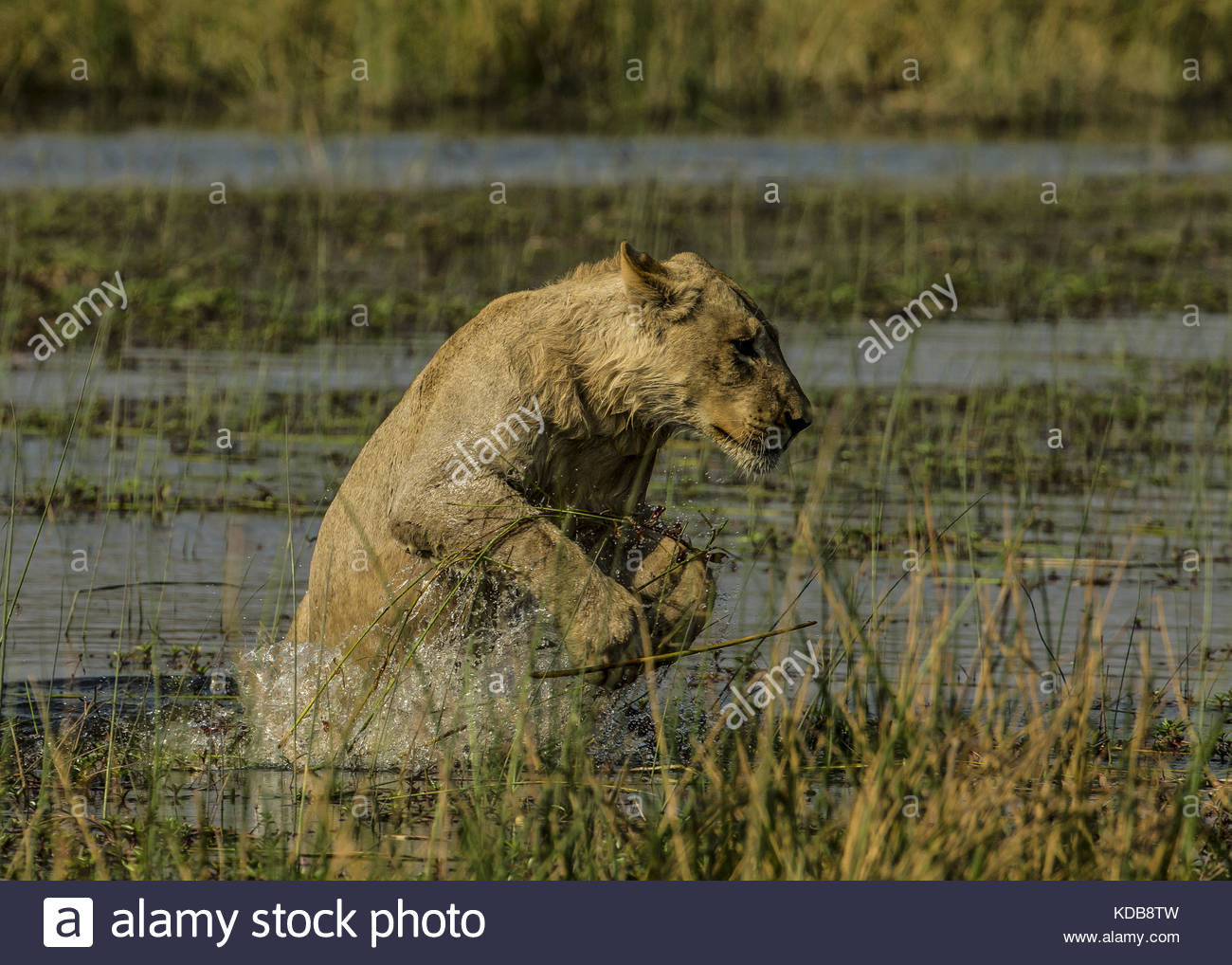 A young lion, Panthera leo, leaps out the water to the spillway bank. - Stock Image