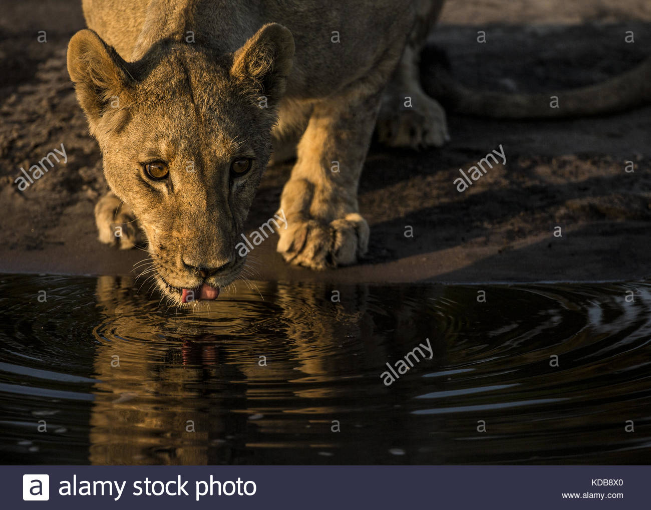 Young male lion, Panthera leo, drinking from a spillway. - Stock Image
