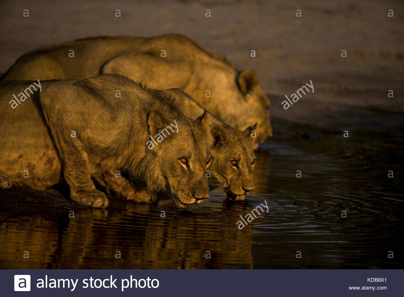 Lions, Panthera leo, drinking from a spillway at sunset. - Stock Image