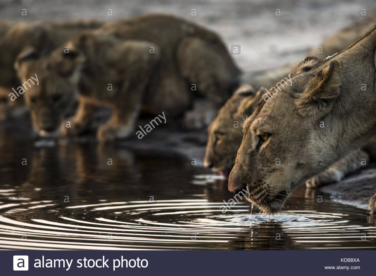 A Lioness, Panthera leo, and her cubs drink from a spillway. - Stock Image