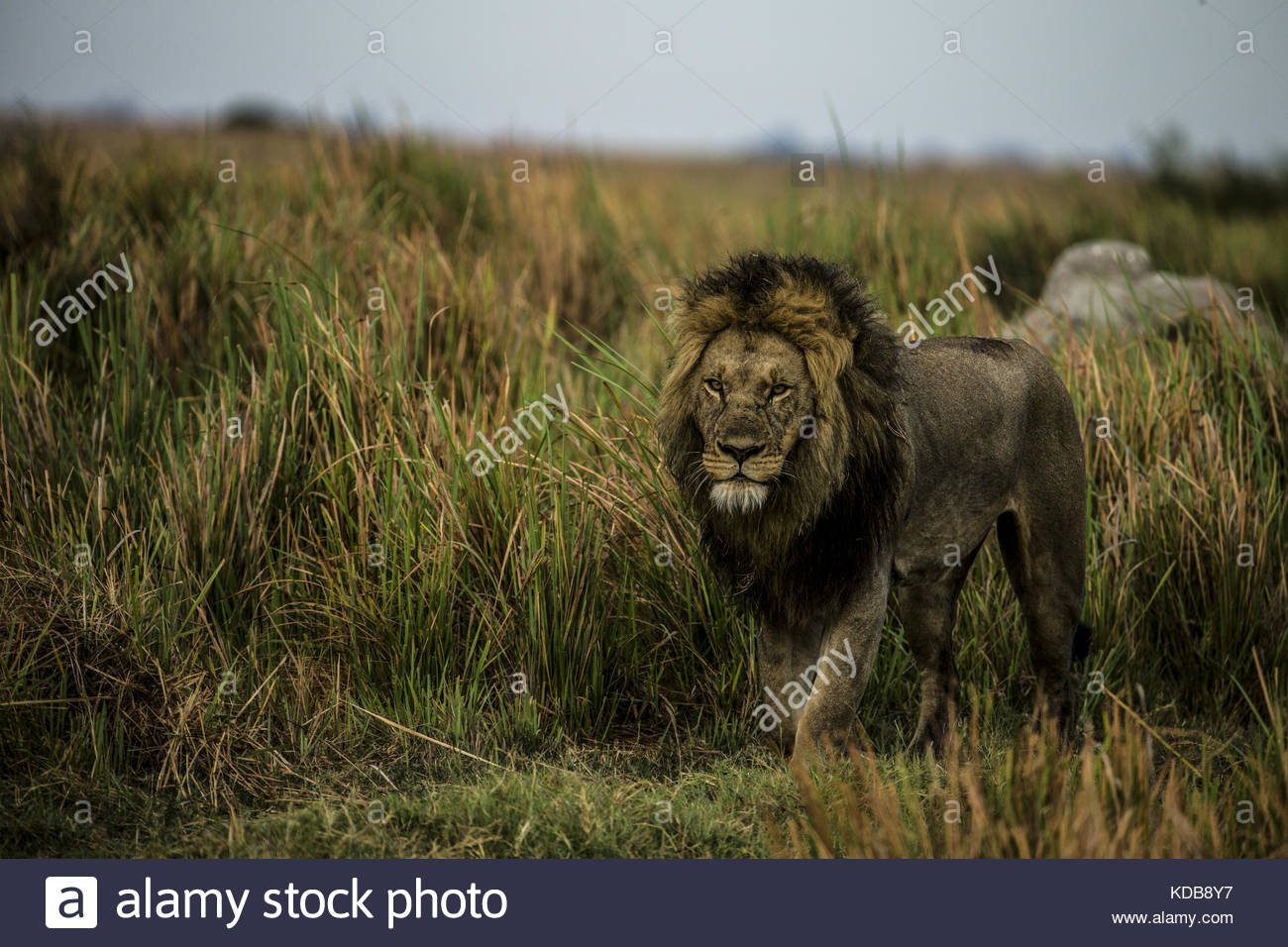 A male lion, Panthera leo, walks through the tall grass. - Stock Image