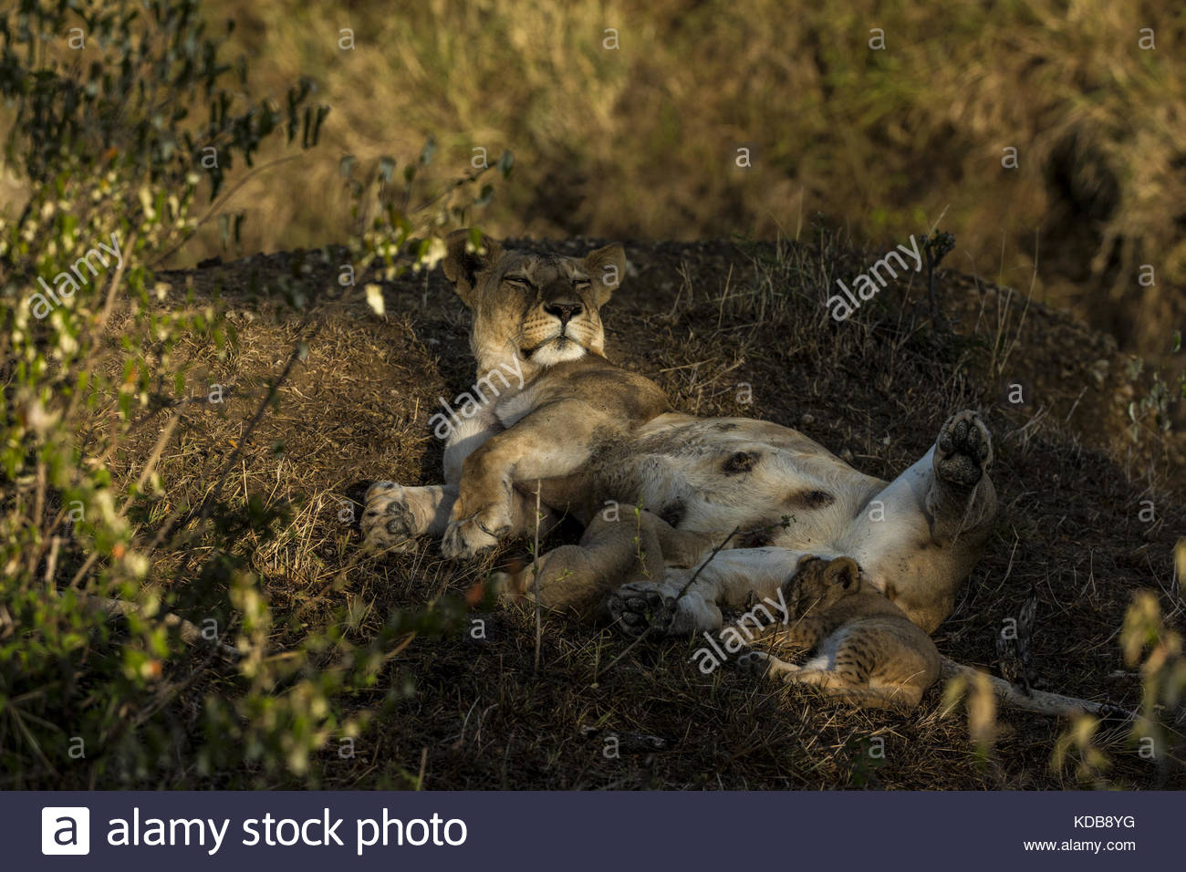 A lioness, Panthera leo, rests after suckling her now sleeping cub. - Stock Image