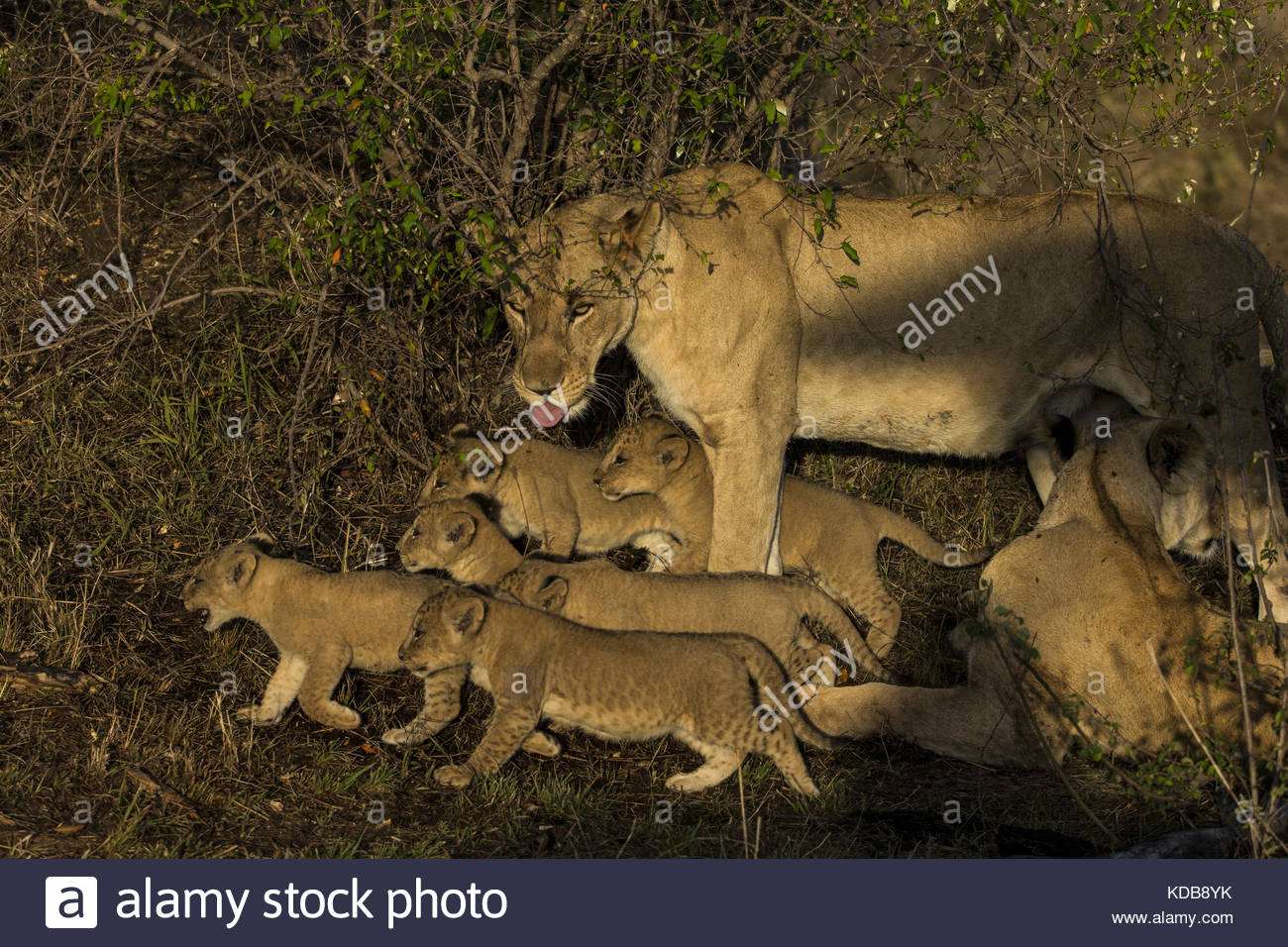 A lioness, Panthera leo, and cubs on the move. Stock Photo